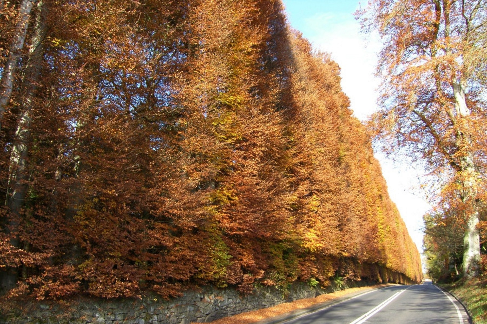 The Beech Hedges by Meikleour were planted by Jacobite supporters in 1745