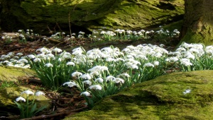 Celebration of Snowdrops